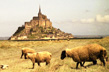 Mt-St-Michel-Moutons