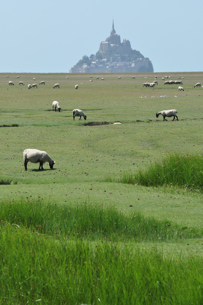 Moutons-du-Mont-Saint-Michel